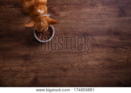 Chihuahua dog eat feed. Bowl of dry kibble food. Healthy pets meal. Blue plate on wooden rustic background. poster