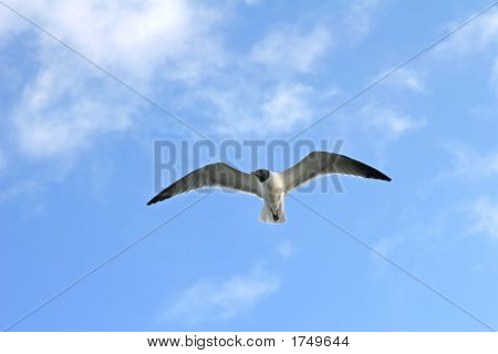 Laughing Gull flying above with wings spread wide poster