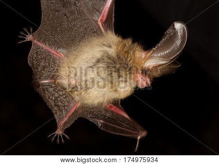 Long-eared bat Plecotus auritus flying on the dark night