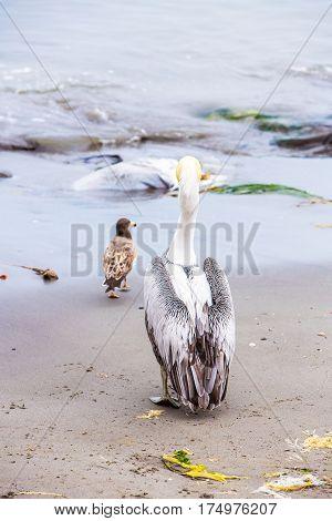 Pelican on Ballestas IslandsPeru South America in Paracas National park. Flora and fauna