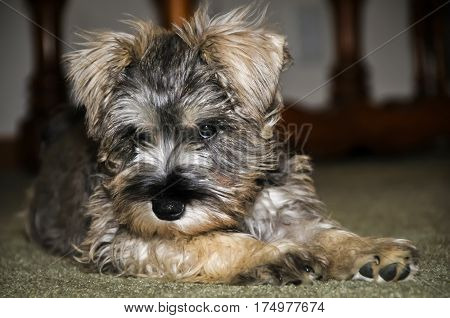 A Yorkshire Terrier lying down on the floor