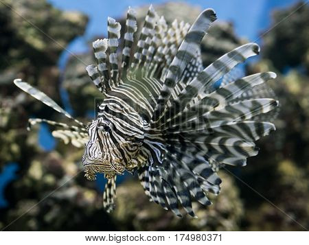 red lionfish with emotion hold a grudge
