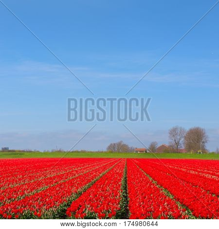 Landscape in Holland with flowerbulbs, red tulips and wind mill