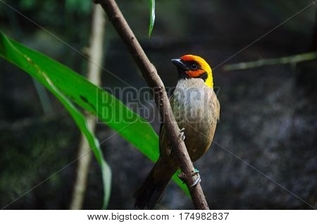 one lovely and noisy exotic bird many buetiful color Tangara