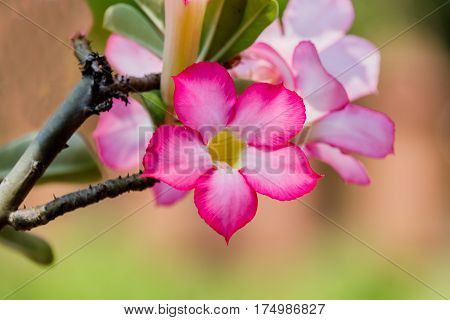 Pink and white azalea flowers in tree.