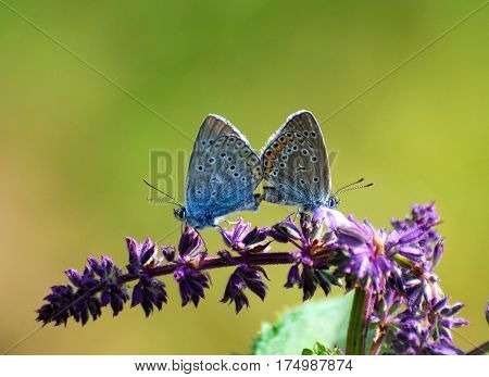Amanda's Blue (Polyommatus amandus) butterflies mating on wild flower. Love of butterflies.