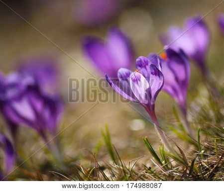 Beautiful Purple Crocuses On A Meadow