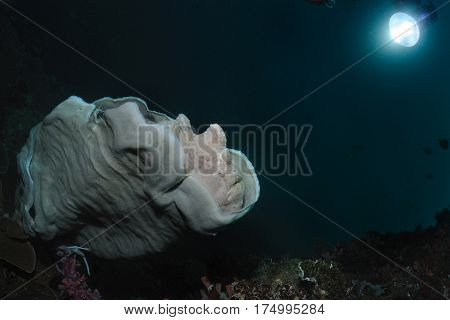 Grey giant frogfish is sitting on a plate sponge, Panglao, Philippines