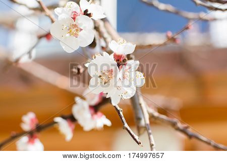 Macro shot of slightly blurred beautiful apricot flowers in the sun day.