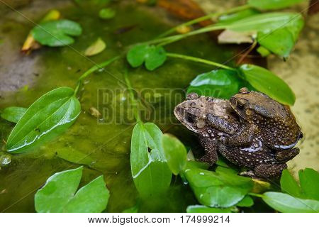 Common Toad Mating In Pond
