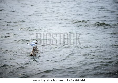 Two Black Headed Gull Standing On Stones In The Water And Reflec