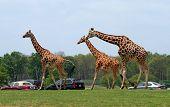 Giraffes in a safari in the United States poster