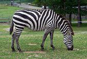 Zebra in a safari in the United States poster