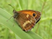 a gatekeeper butterfly (pyronia tithonus) showing the underside of teh wings. poster