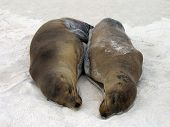 Two Galapagos Sea Lions sleep and snuggle poster