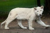 White lion cub. The white lions are a colour mutation of the Transvaal lion (Panthera leo krugeri), also known as the Southeast African or Kalahari lion. poster
