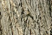 Full (landscape) frame closeup of Oak Bark. poster