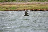 Brown Pelican flying just above the edge of the water poster