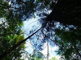 Upward View Of A Tree.
