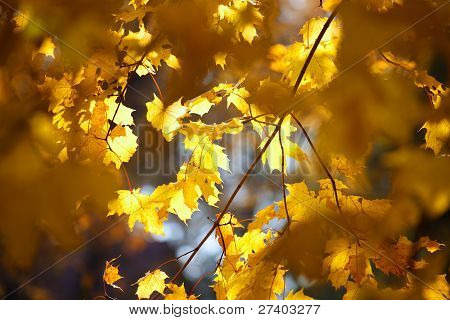 The bright yellow maple leaves on the branches of a tree in autumn poster