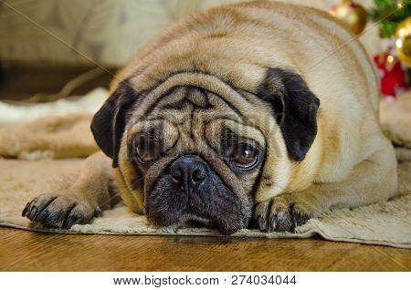 Sluggish, Lazy, Dull Dog At New Year Holidays. Pet Is Sad Beige, Fawn Pug. Thick, Fat Room Dog Lay N