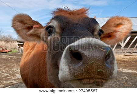 Closeup Face Of Young Jersey Cow Heifer