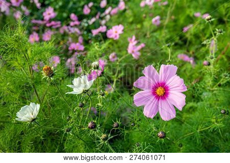 Yellow Hearted Pink Garden Cosmos Flower At The Edge Of A Dutch Field In Autumn. For The Stimulation