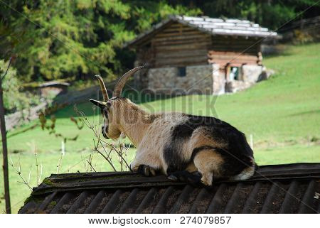Goat In The Ultental Valley, South Tyrol, Italy
