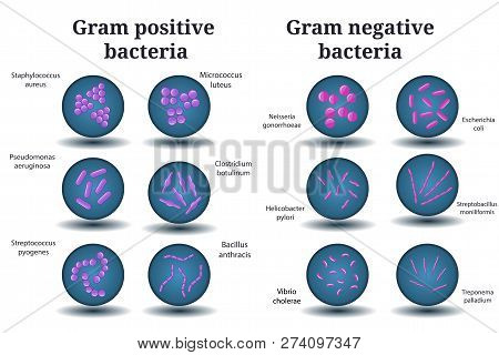 Flat Vector Microbiology Set. Gram Positive And Gram Negative Bacteria. Coccus, Bacillus, Curved Bac