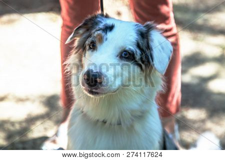 Purebred Dog (australian Shepherd - Aussie) In Front Of The Owner Legs, Outdoors, Sunny Day. Has Dif