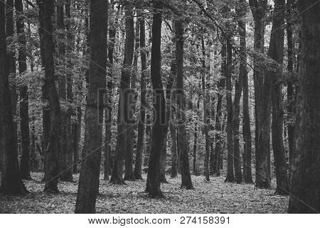Old Tall Trees With Moss In Forest. Nature Concept. Trees With Green Leaves In Forest. Beautiful Vie