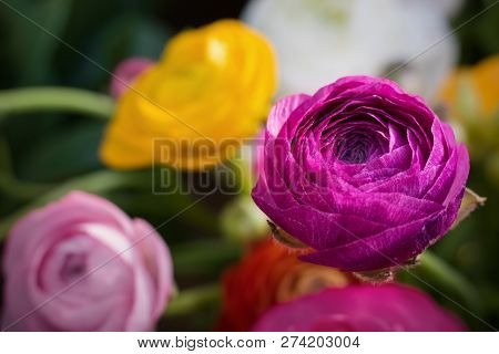 Ranunculus Asiaticus Or Persian Buttercup Bright Ultra Violet Flower. Ranunculus Is Spring Flovr For