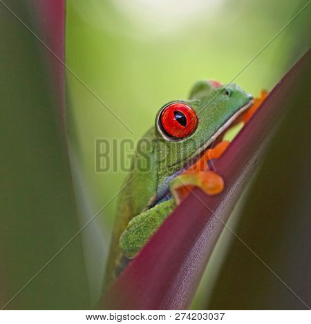 Red eyed tree frog, Agalychnis callidrias hiding between the leafs in the tropical rain forest of Costa Rica.