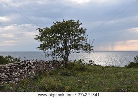 Coastal Landscape With A Solitaire Tree And An Old Stone Wall At The Swedish Island Oland