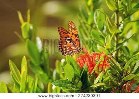 Nature Background Butterfly. Butterfly Insect In Nature. Nature Insect Butterfly On Red Flowers Plan