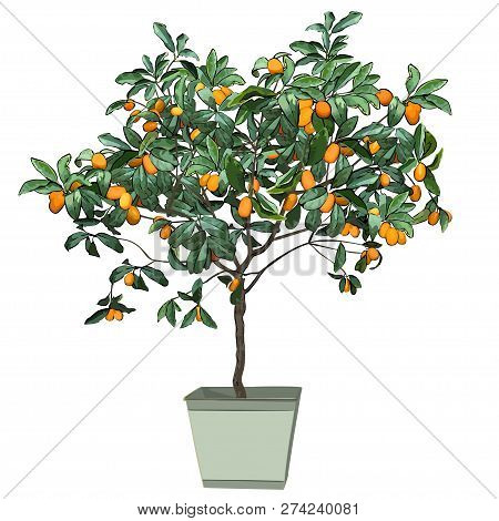 Tree A Kumquat (fortunella Swingle L.) With Mature Fruits, In A Pot, The Color Vector Image On A Whi
