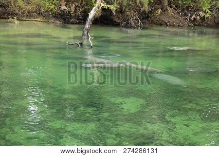 View Of Manatee At Blue Springs State Park