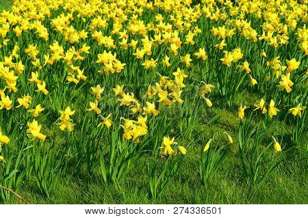 Daffodils Latin Name Narcissus February Gold Flowers