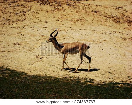 Image Of Antelope Standing On A Pasturage