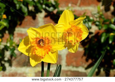 Daffodils Latin Name Narcissus Gold Medal Flowers