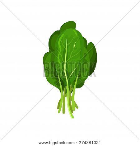Kale Fresh Salad Leaves, Healthy Organic Vegetarian Food, Vector Illustration On A White Background