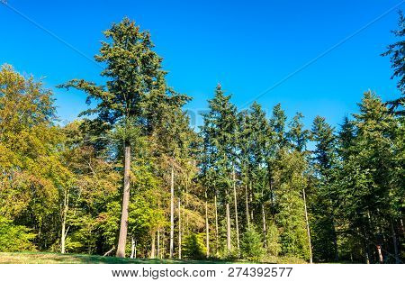Trees In The Eltz Forest - The Rhineland-palatinate State Of Germany