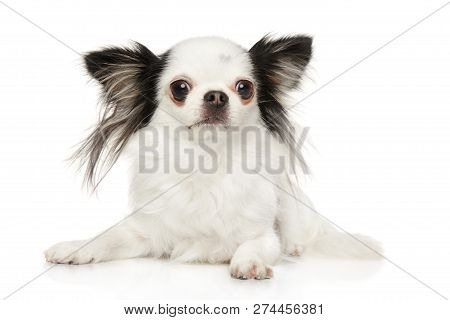 Black And White Chihuahua Puppy Lying In Front Of White Background. Baby Animal Theme