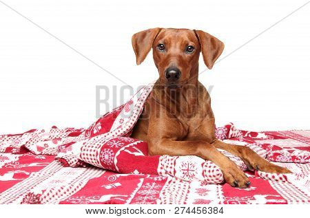Brown German Pinscher Under Blanket Lying Down On A White Background. Animal Themes