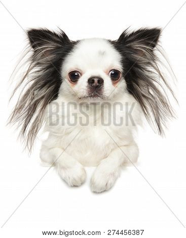 Portrait Of A Young Chihuahua Dog Above Banner, Isolated On White Background. Animal Themes