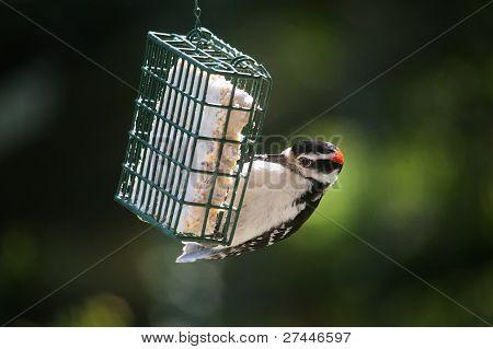 Downey Woodpecker on a Suet Feeder