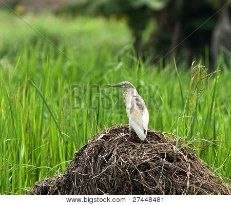 Squacco Heron in Rice Field in The Gambia poster