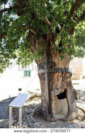 Ash Tree In The Town Of  Freixo De Espada A Cinta, (international Douro Natural Park) , Braganza Dis