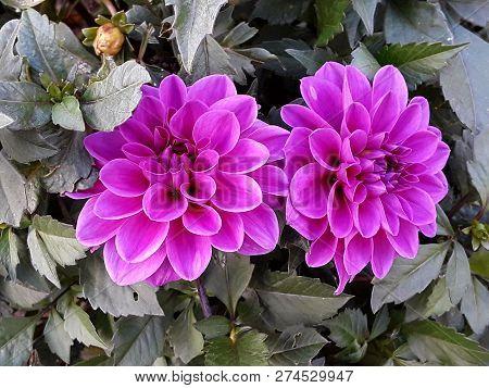 Dahlia Flower In The Park In The Municipality Turkey Zonguldak