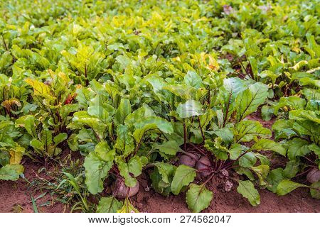 Organically Grown Beetroot Or Beta Vulgaris Subsp. Vulgaris Plants In The  Field Of A Dutch Arable F